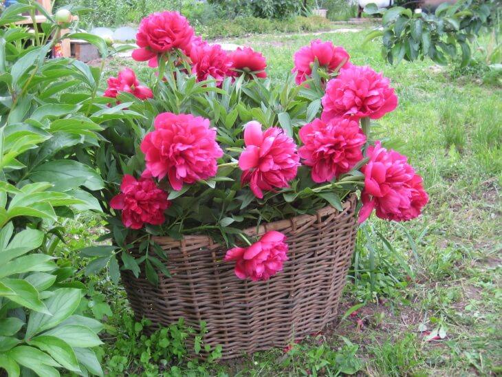 Декоративное выращивание пиона