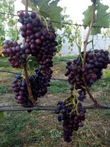 Достоинства и недостатки, а так же как вырастить виноград сорта Мускат Новошахтинский