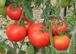 Урожай томатов в конце августа