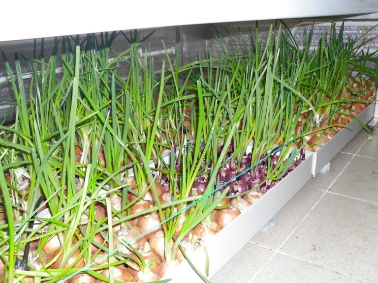 Выращивание зеленого лука на перо 2