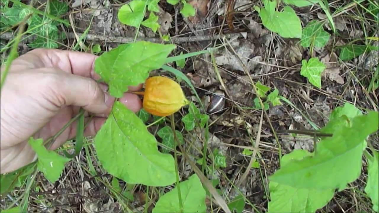 Фризалис мармеладный: основы ухода за растением