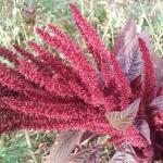 Амарант: выращивание из семян и основы правильного ухода