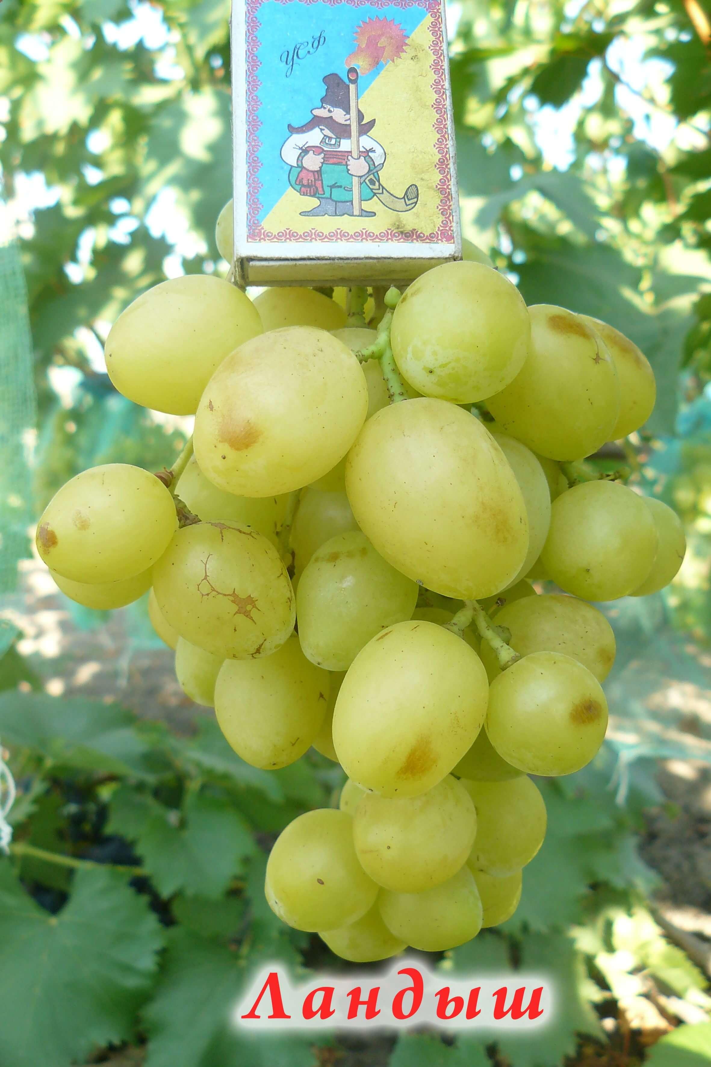 Сорт винограда «Ландыш»: описание, отличительные черты, качество урожая