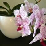 orhideya-6