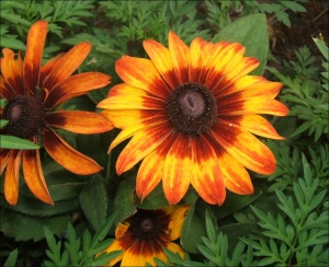 rudbeckia-hirta-autumn-colors-full_enl