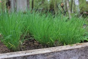 Як виростити зелений лук