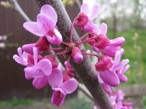 Лат. Cercis canadensis