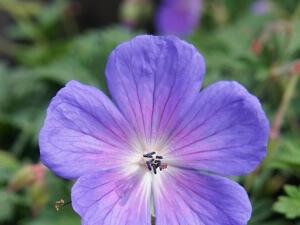 Цветение гималайской герани