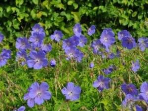 Неприхотливые многолетники для сада: герань гималайская