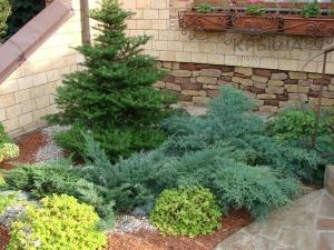Быстрорастущие хвойные растения: виды, названия, описание и роль в саду