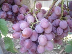 Урожай винограда Граф Монте Кристо