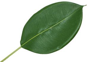 Лист, подходящий для размножения