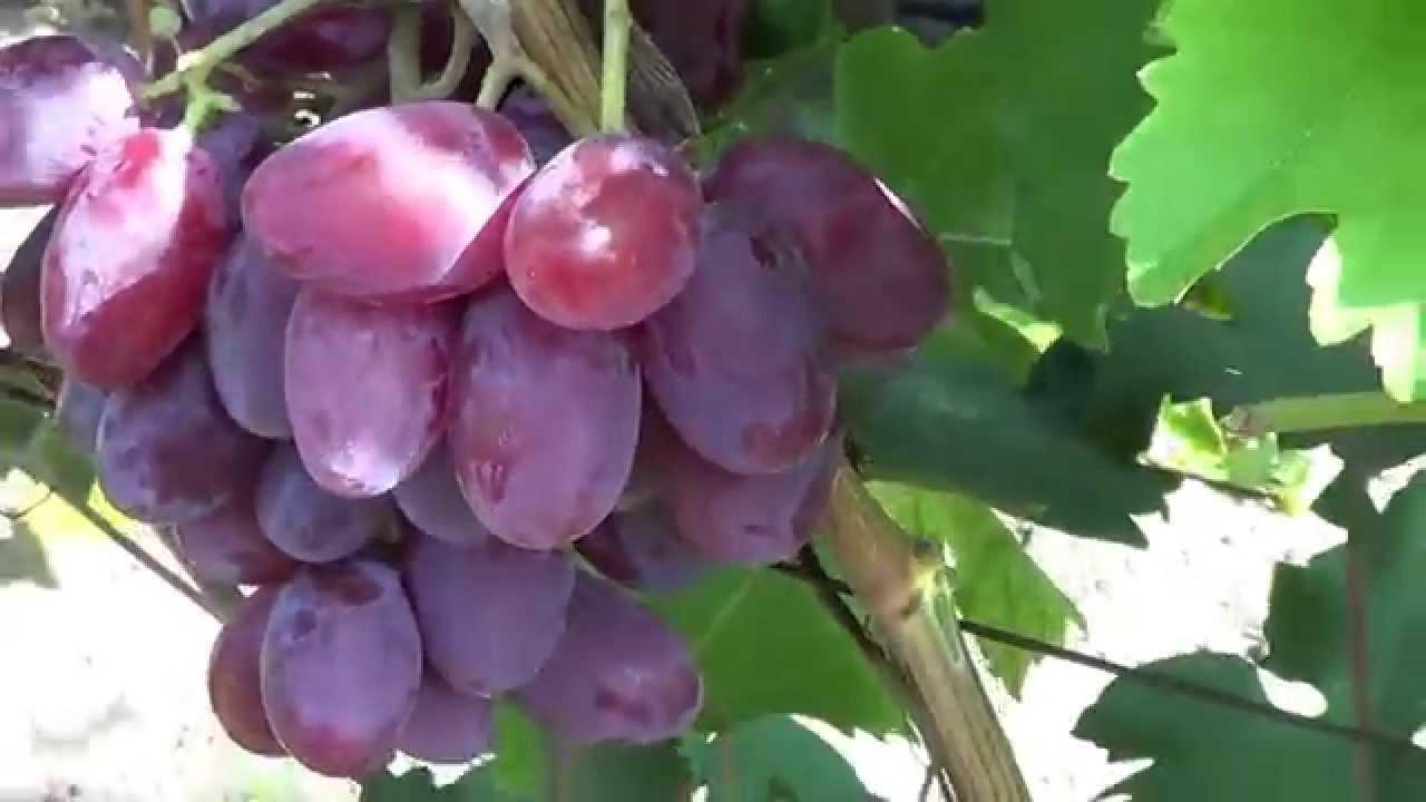 Как вырастить виноград «Граф Монте Кристо» и обеспечить правильный уход