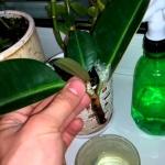 Размножение фикуса: правила ухода за черенком во время укоренения