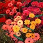 Как ухаживать за герберой в домашних условиях, что она любит, сколько раз цветёт за сезон
