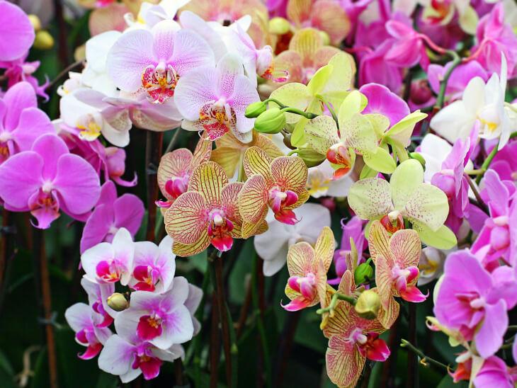 Яркое цветение орхидеи