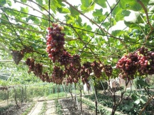 Урожай винограда после обрезки