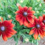 Агротехника возделывания рудбекии сорта «Черри бренди»