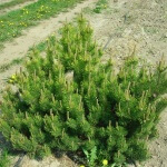 Сосна горная: растение для садоводов-лентяев