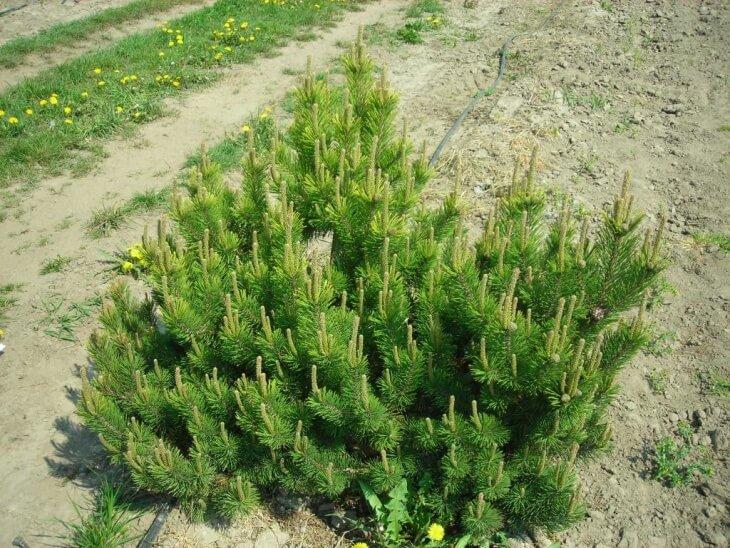 Лат. Pinus mugo