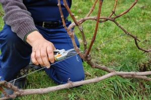 Когда нужно обрезать лозу винограда? Схема правильной обрезки молодых побегов