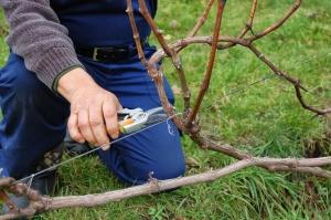 Обрезка винограда в весенний период
