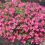 zvetok-lubelia-ampelnaya-13