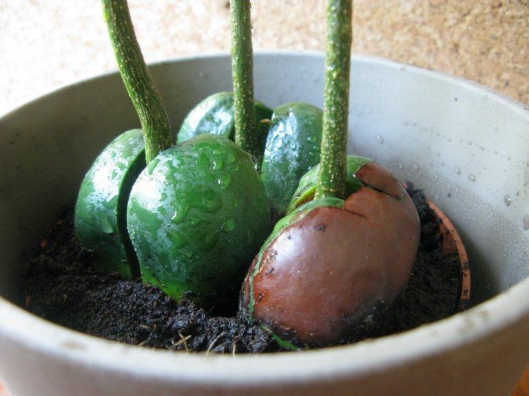 Выращивание каштанов в домашних условиях