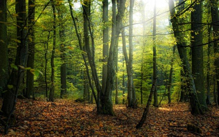 Лес с хвойными деревьями