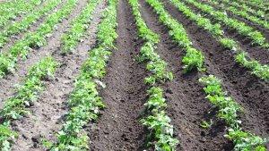 Первые росточки картофеля