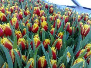 Массовая выгонка тюльпанов