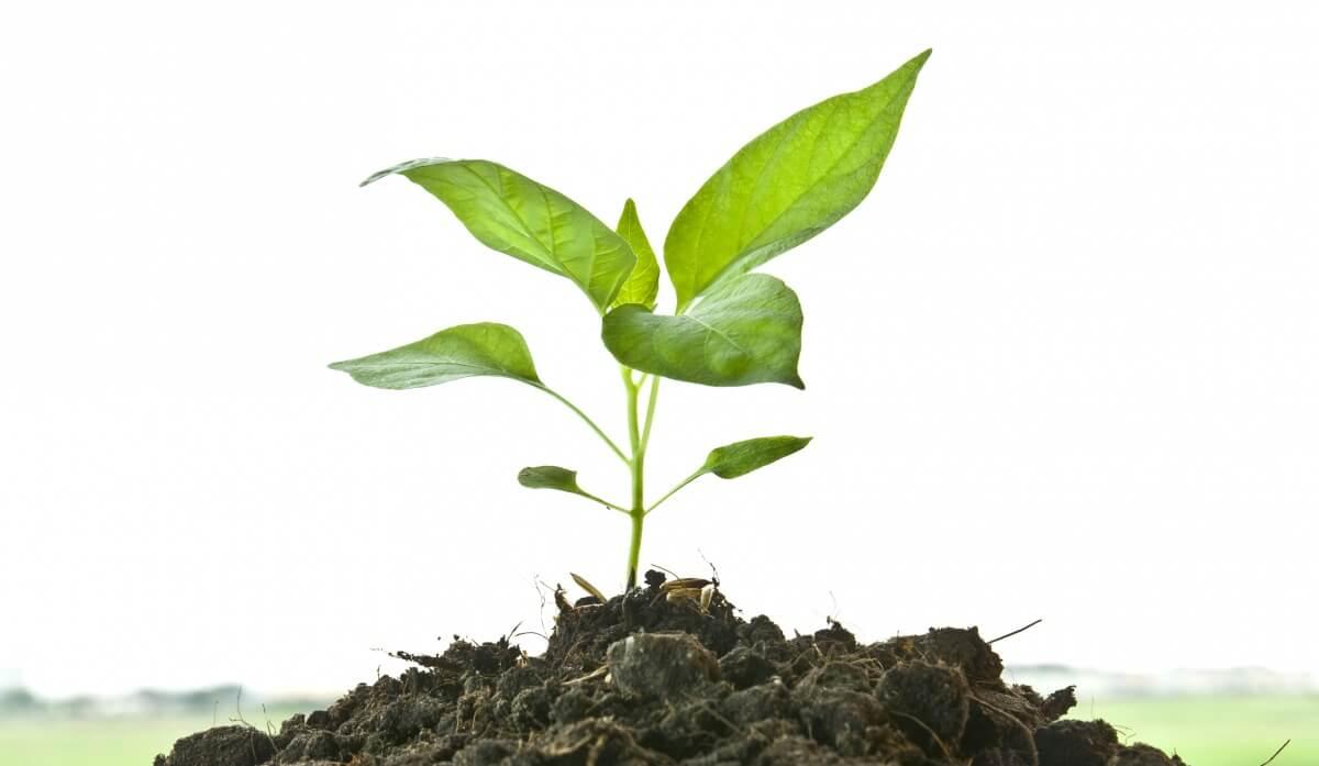 Как выращивать перец «Венти» в тепличных и домашних условиях