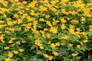 Лат. Anemone ranunculoides