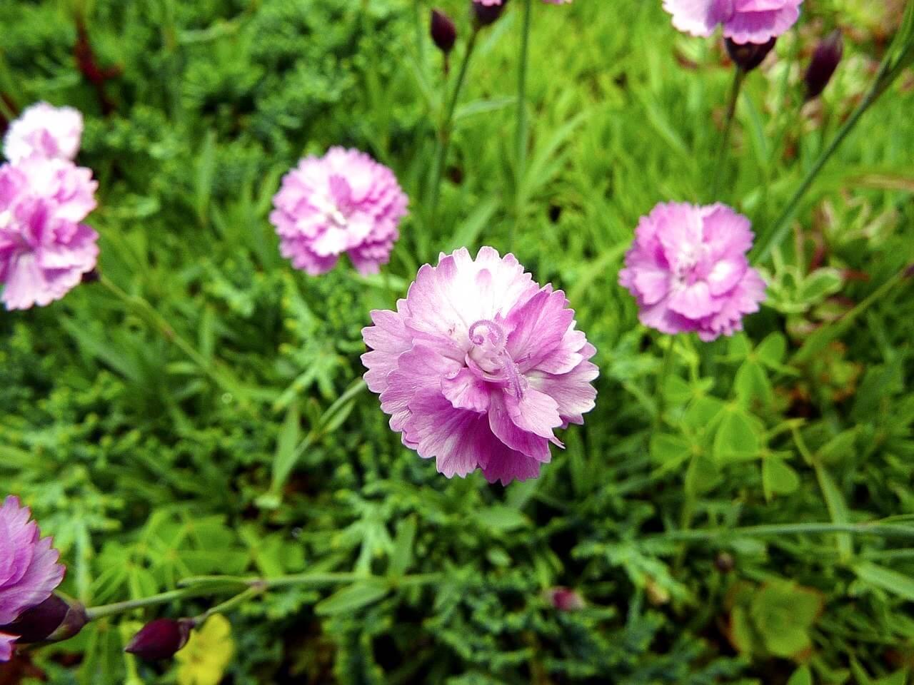 Гвоздика многолетняя цветы фото и названия