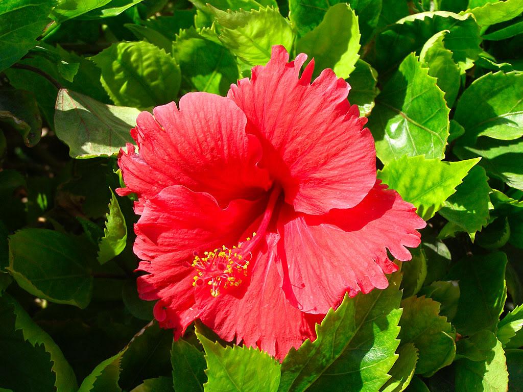 Каркаде растение выращивание 83