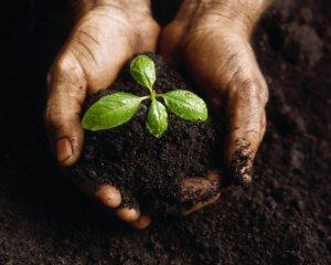 Посадка росточков в открытую почву