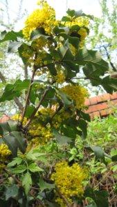 Начало цветения желтой сирени