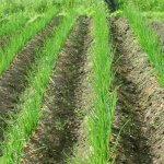 Как правильно посадить лук: нюансы посадки, секреты лукового урожая
