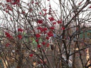 Ягоды калины в осенний период