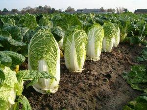Выращивание пекинской капусты: подробные рекомендации от посева рассады до сбора урожая