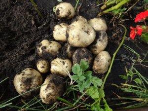 Результаты после размножения картофеля