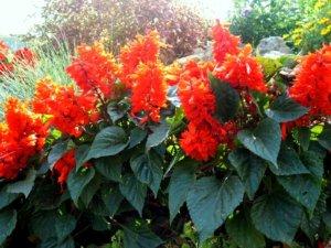 Как вырастить сальвию через рассаду и в открытом грунте