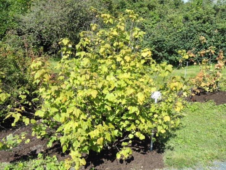 Куст смородины в саду