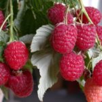 Правильная подкормка разных видов малины на всех этапах выращивания