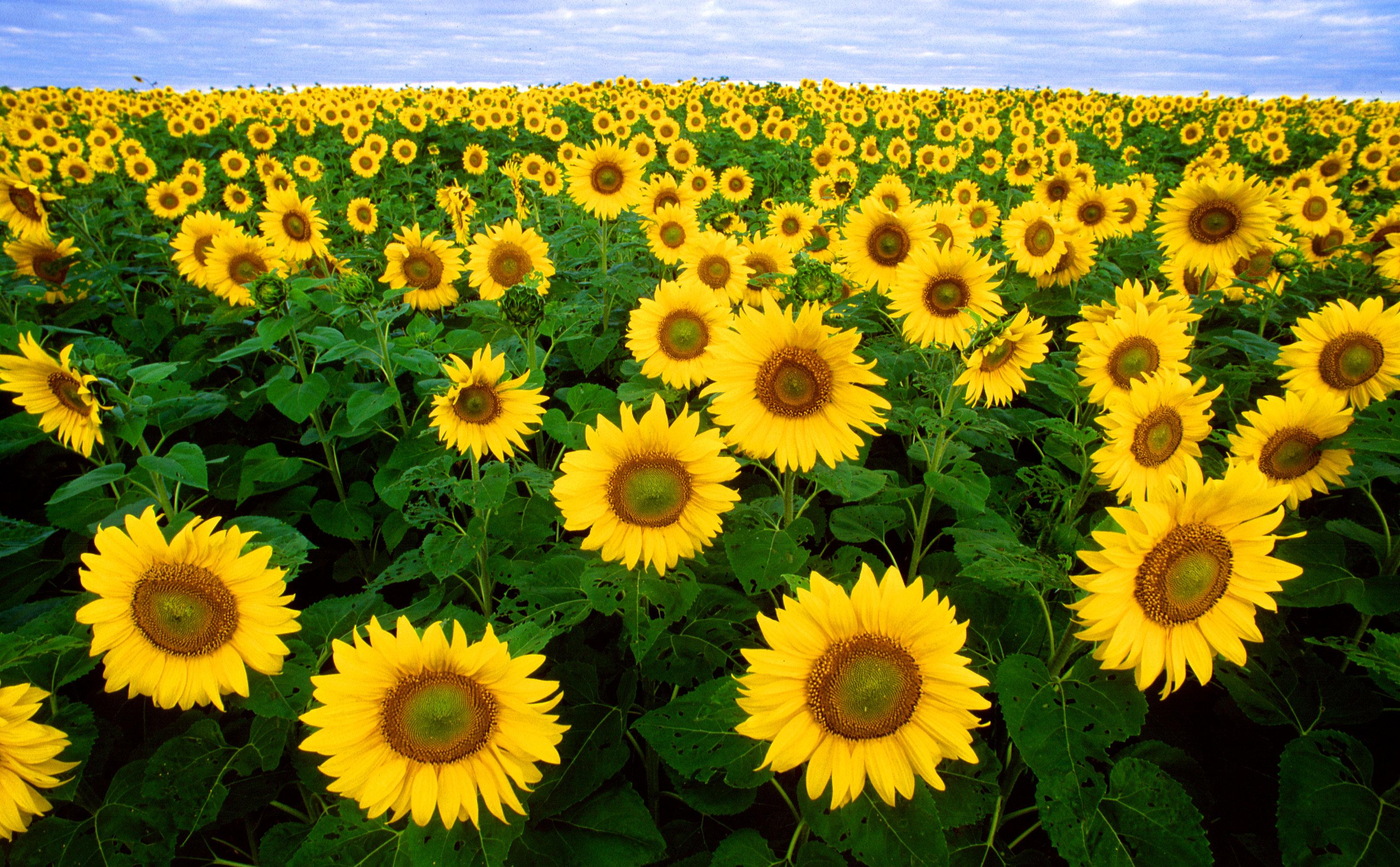 Технология выращивания подсолнечника: правила и секреты получения полезного полноценного урожая