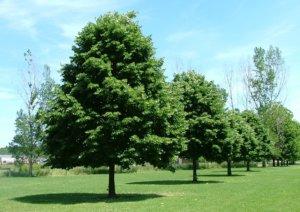 Сколько может прожить дерево и как определить его возраст