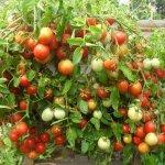Происхождение помидора: родина и применение в древности, исторические факты