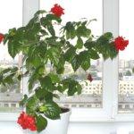 Гибискус каркаде: особенности растения и условия выращивания