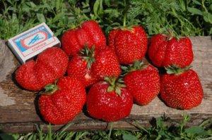 Как вырастить крупные сорта клубники?