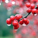 Саженцы калины: какие существуют виды, правильная посадка и уход